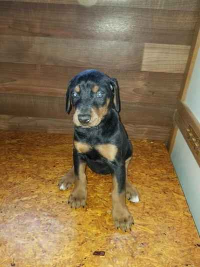 Doberman Pinscher Puppies for Sale, Long Island NY