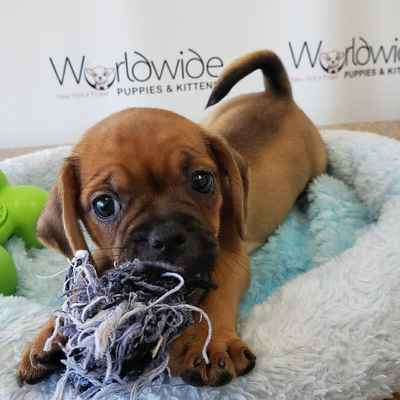 Puggle Puppies for Sale, Long Island NY