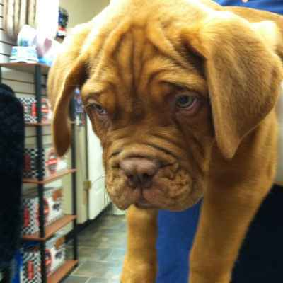 Dogue De Bordeaux Puppies for Sale, Long Island NY