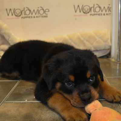 Rottweiler Puppies For Sale Long Island Ny