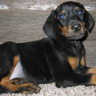 Doberman Pinscher For Sale Long Island