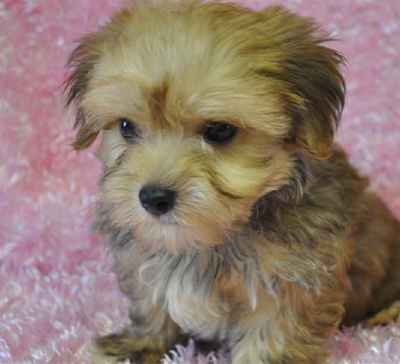 shih tzu puppies for sale long island available pets 3687