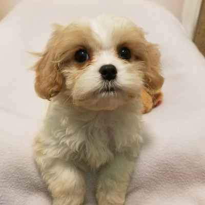 Cavachon Puppies for Sale, Long Island NY