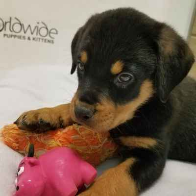 Armoured Vehicles Latin America ⁓ These Rottweiler Breeders