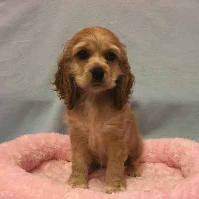 Cocker Spaniel Puppies for Sale, Long Island NY