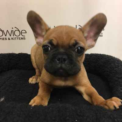 french bulldog puppies for sale long island french bulldog puppies for sale long island ny 5068