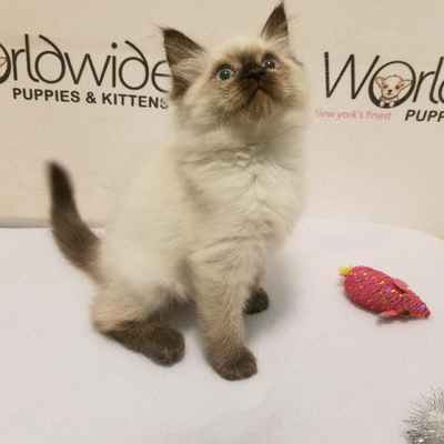 Ragdoll kittens for Sale, Long Island NY